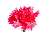 Pink carnation flower — Stock fotografie