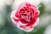 Red and White carnation Flower - close up — 图库照片