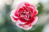 红色和白色的香石竹花-密切起来 — 图库照片