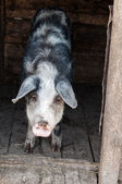 Pig in stable at the farm — Stock Photo