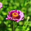 Beautiful purple Dahlia flower with Yellow Center against green — Stock Photo #25967113