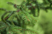 Closeup of pine needles with a shallow depth of field — Stock Photo