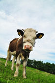 Cow with chain over her snout in rural landscape — Stock Photo