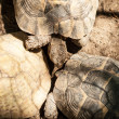 Yellow-footed tortoise, captive — Stock Photo #27319799