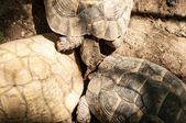 Yellow-footed tortoise, captive — Stock Photo