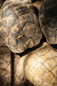 Yellow-footed tortoise, Chelonoidis denticulata, captive — Stock Photo