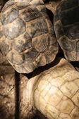 Yellow-footed tortoise, Chelonoidis denticulata, captive — Stock Photo