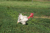 Naked neck rooster at the farm. Free range, rare breed of chicke — Stock Photo