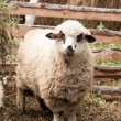 A domestic sheep in a pen — Stock Photo #43225785