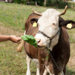 Brown stained cow eating grass the farmer's hand on a green mead — Stock Photo #43226035