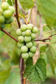Grapes with green leaves on the vine. fresh fruits — ストック写真