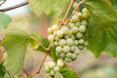 Grapes with green leaves on the vine. fresh fruits  — Стоковое фото