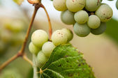 Grapes with green leaves on the vine. fresh fruits  — Photo