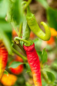 Red and green chilli peppers growing in the garden — Stock Photo
