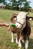 Brown stained cow eating grass the farmer's hand on a green mead — Stock Photo