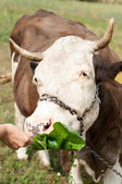 Brown stained cow eating grass the farmer's hand on a green mead — Stok fotoğraf