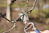 Pruning of trees with secateurs in the garden. Clean fruit trees — Stock Photo