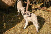 Two cute and adorable shy young lambs playing on the farm — Stock Photo