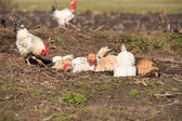Hens taking a dust bath and a rooster walked past them — Stock Photo