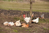 Rooster near hens having a dust bath on a warm day — Stock Photo
