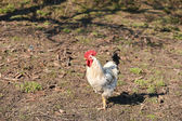 Beautiful white rooster on the farm, proud walking through the y — Stock Photo