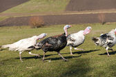 White and black turkeys running scared by a loud noise in a barn — Stock Photo