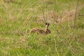 Hare in Field, hide from potential predators — Stock Photo