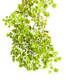 Grön stam och blad närbild isolerad på vit bakgrund — Stockfoto
