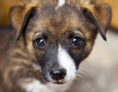 Portrait of a little dog close-up — Stock Photo