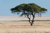 Tree at Etosha Pan — Stock Photo