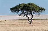 在埃托沙潘树 — 图库照片