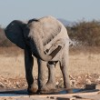 Baby elephant in Etosha, Namibia - Stock Photo