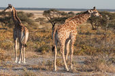 Baby giraffes — Stock Photo