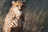 Old Cheetah — Stock Photo