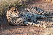 Resting Cheetah — Stock Photo