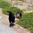 Wild goats graze — Stock Photo