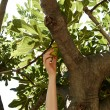 Young female is picking figs from tree at beach — Stock Photo