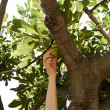 Young female is picking figs from tree at beach — Stock Photo #30380441