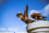 Majestic eagles in Westminster London — 图库照片