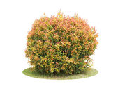 Colorful shrub of Pigeon Berry tree isolated over white backgrou — Stock Photo