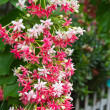 Stock Photo: Pink Bouquet of Quisqualis Indicflower climb down from woo