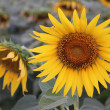 Sunflower in the morning — Stock Photo