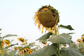 Ripe sunflower and seeds at the end of life cycle — Stock Photo