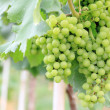 Stock Photo: Green grapes in a vineyard for wine industry.