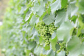Green grapes in a vineyard for wine industry. — Stockfoto