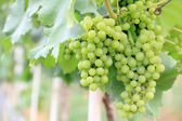 Green grapes in a vineyard for wine industry. — Stock Photo