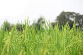 Rice farm on the Northeast of Thailand. — Stock Photo