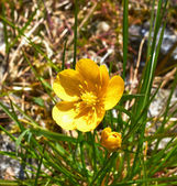 Beautiful buttercup flower — Stock Photo