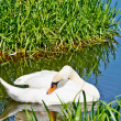 White, like snow swan on the river. — Stock Photo #27066053