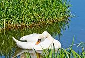 Blanco, como cisne de nieve en el río. — Foto de Stock